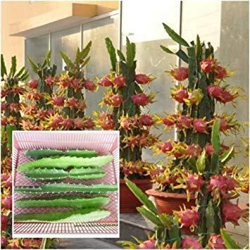 White Dragon Fruit Live 3 Cutting Pitahaya Cactus Propagation Plant Edible Cacti
