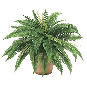 "25"" Boston Fern Bush x48 (Pack of 6) 74"
