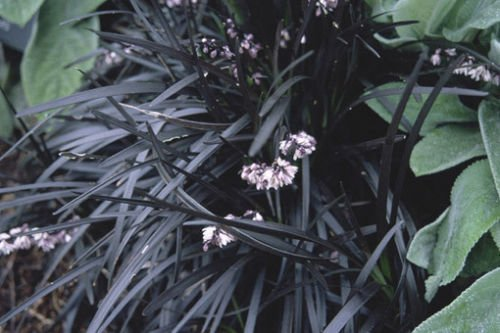 5 seeds of Ophiopogon planiscapus Nigrescens BLACK MONDO GRASS Seeds