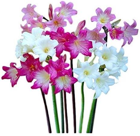 Amaryllis belladonna lily (aka Jersey lily, naked lady lil