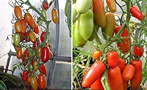 Las semillas de tomate Caspar F1 de cultivo ecológico híbrido F1 variedad no GMO