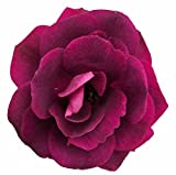 "Burgundy Iceberg Rose - Deep Purple, Mildly Fragrant - 4"" Pot"