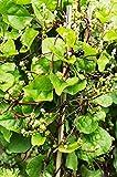 100 Red Stem Malabar Climbing Spinach Seeds