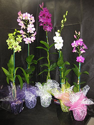 5 Blooming/Budded Dendrobium Flowering Orchid Plants-A GIFT OF ALOHA! BEAUTIFUL- Perfect for any occasion!