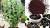 HEIRLOOM NON GMO Black Currant 25 seeds