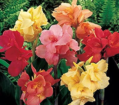 (5) Spectacular Flowering Perennial Flowers, Deluxe Canna Lily Mix Seeds