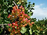 20 Pistacia Vera Seeds, Pistachio Nut Seeds