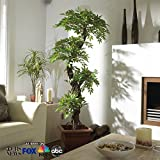 Premium Quality Japanese Artificial Plants and Trees, Large Luxury Japanese Fruticosa Tree, Handmade Using Real Bark & Synthetic Leaves, Indoor Plant - 165cm Tall.
