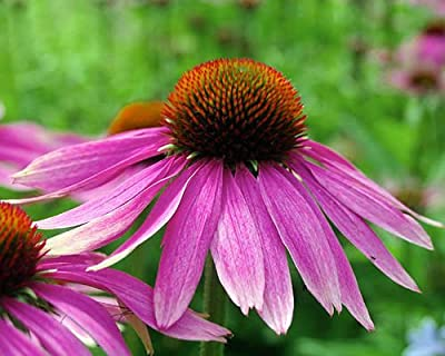 100+ ORGANIC Echinacea Purpurea Purple Coneflower Seeds Healthy Perennial Herb