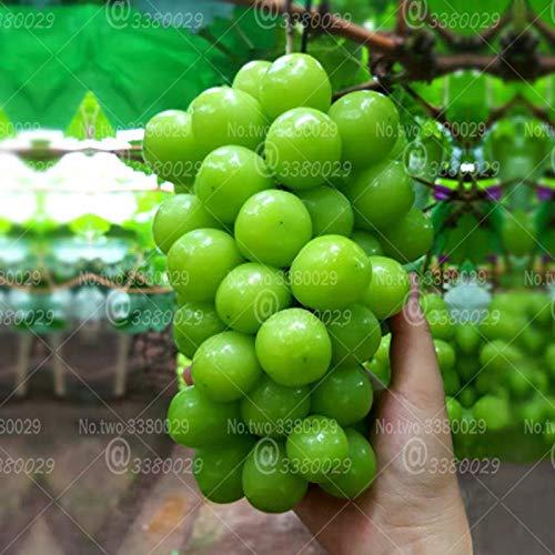 50pcs Sapphire Grape Bonsai Rare Shine-Muscat Grape Fruit Bonsai Tree Perennial Indoor Potted Plants for Home Garden Plantas ()