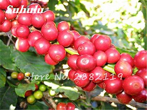 Bonsai Graines Fèves de café 10PCS Arbre Plante Café Pot Pour Maison Jardin rare Graines