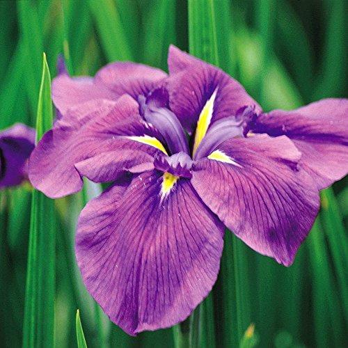 Japanese Iris - 8