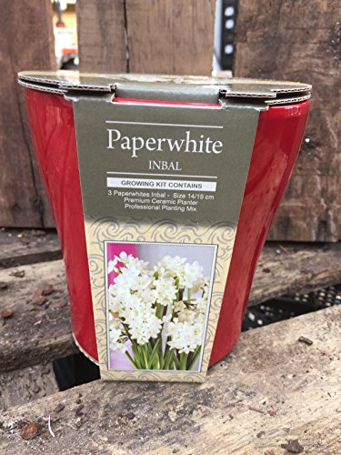 erwhite Holiday Gift Growing Kit, Deluxe Edition. Includes a Rustic Red Ceramic Pot, 3 Large Paperwhite Bulbs, and Professional Growing Medium (Amaryllis Bulb Kits)