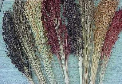 Hazzard's Seeds Sorghum Broom Corn Primero Mix 500 seeds