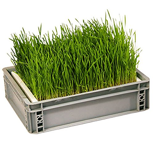 Eschenfelder Sprouting Box Wheat Grass Grain Large 15,74 x 23,6 inches (40 x 60 cm) by Happy Mills