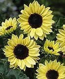 David's Garden Seeds Sunflower Moonshine D135VF (Yellow) 100 Heirloom Seeds