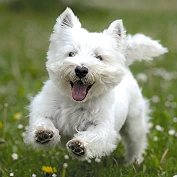 Rspca Birthday Card Blank Westie Dog Running In Field 625 X 625