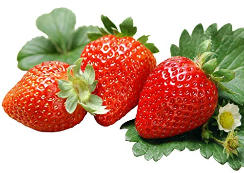 Albion Everbearing Strawberry 25 Bare Root Plants
