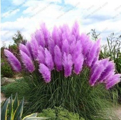 New Rare Purple Pampas Grass Seeds Ornamental Plant Flowers Cortaderia Selloana Grass Seeds 500 Pieces / Lot