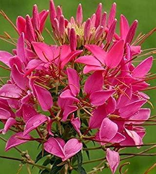 Semillas BloomGreen Co. Flor: patas de araña semillas de flor ...