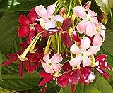 RANGOON CREEPER Single Flower Pink Red Exotic Fragrant Tropical Live Vine Plant Chinese Honeysuckle Starter Size 4 Inch Pot Emeralds Tm