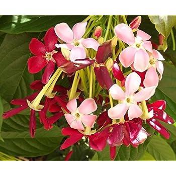 Amazon rangoon creeper single flower pink red exotic fragrant rangoon creeper single flower pink red exotic fragrant tropical live vine plant chinese honeysuckle starter size mightylinksfo