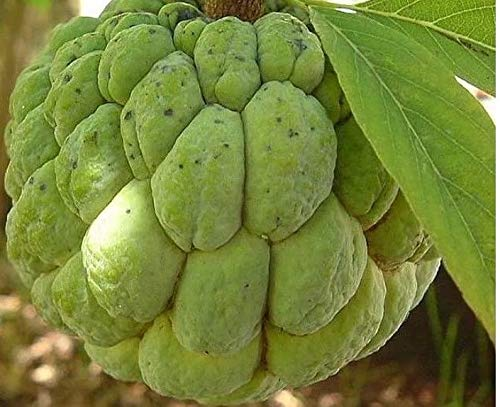 annona squamosa - Sugar Apple - Rare Organic Tropical Plant Tree Seeds ()