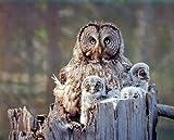 Great Grey Owl Family Bird Wildlife Animal Wall Decor Art Print Poster (16x20)