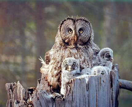 Great Grey Owl Family Bird Wildlife Animal Wall Decor Art Print Poster (16x20) - Art Print Measures 16x20 inches and is created using high quality paper. The printing process produces a vivid and detailed reproduction. Brand new Poster Published In USA, Ships From USA - wall-art, living-room-decor, living-room - 514TKN5vZXL -