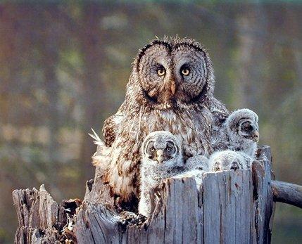 514TKN5vZXL - Great Grey Owl Family Bird Wildlife Animal Wall Decor Art Print Poster (16x20)