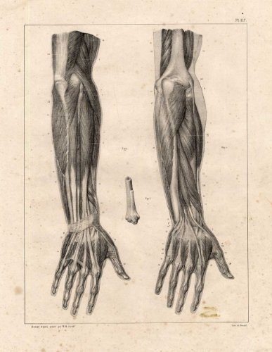 3 Antique Medical Anatomy Prints-MUSCLES-FOREARM-ARM-HAND-Bourgery-1831