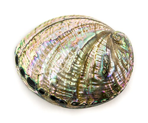 Abalone Shell | 1 Large Polished Rainbow Abalone Sea Shell 5
