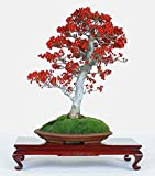 Ilex Aquifolium Christmas Common Holly * Bonsai Tree 10 Seeds Evergreen Amazing * Rare