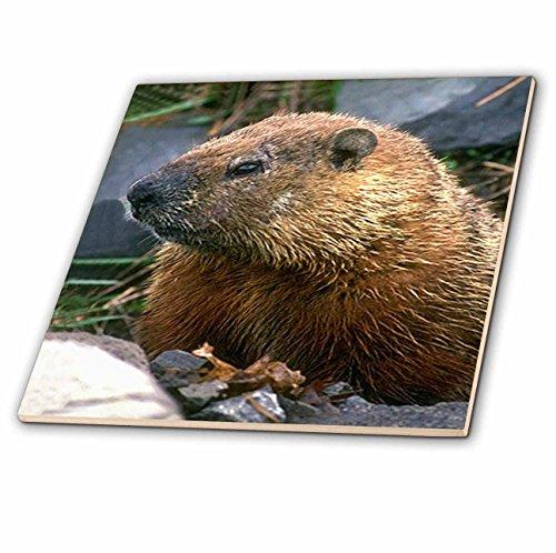 Wild animals - Groundhog - 4 Inch Ceramic Tile (ct_690_1)