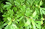 Sassafras Tree - Healthy Established Roots - Gallon Potted - 1 Plant by Growers Solution