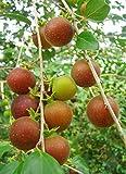 New and Healthy Tropical Apricot - Dovyalis Hebecarpa x Abyssinica Dovyah's Hybrid Fruit Plant - Ceylon Gooseberry Ketembilla Kitambilla