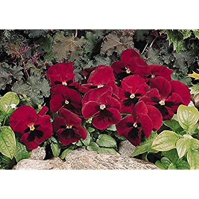 Organic 500 Bulk Snow Pansy Seeds Rose Blotch Snowpansy : Garden & Outdoor
