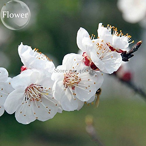 Pear Tree Mini (Solution Seeds Farm Rare Hierloom White Prunus Mini Bonsai Pear Plant Tree, 10 Seeds, Ornamental for home garden (SEEDS) Not Tree)