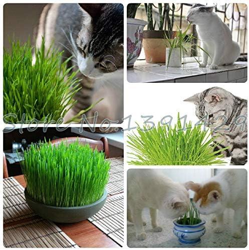 Semillas de plantas de follaje Hierba de trigo, semillas de hierba de gato, semillas de trigo, planta de bonsái para jardín, alrededor de 200 partículas: Amazon.es: Jardín