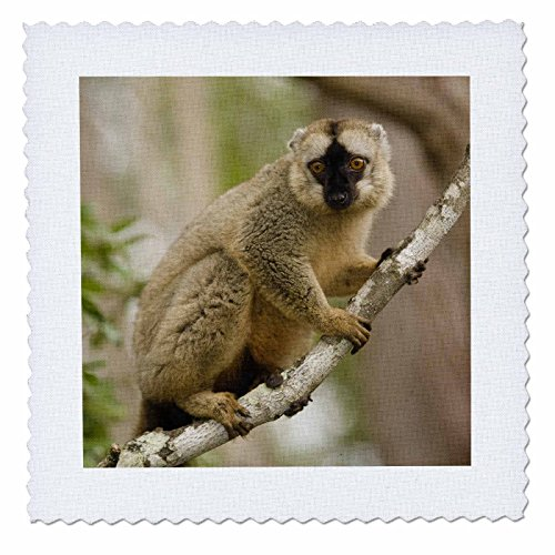 3dRose qs_72861_3 Brown Lemur in a Tree in Madagascar-AF24 JMC0003-Joe and Mary Ann Mcdonald-Quilt Square, 8 by (Brown Lemur)