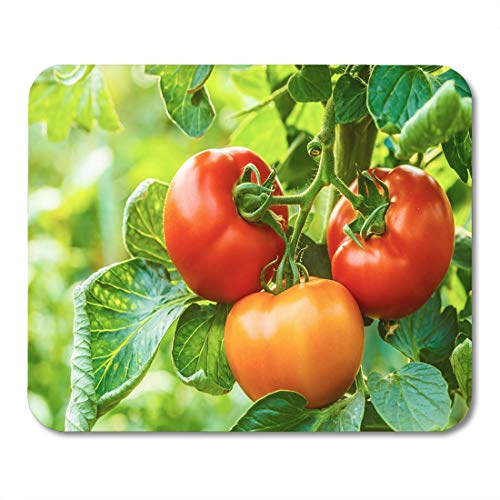 Semtomn Mouse Pad Green Agriculture Organic Ripe Tomato Cluster in Greenhouse Red Mousepad 9.8