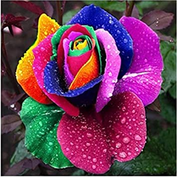Huayang 200pcs arc en ciel rose fleurs jardin multicolor graines huayang 200pcs arc en ciel rose fleurs jardin multicolor graines rares altavistaventures Choice Image