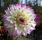 Ferncliff Illusion Dinnerplate Cacti Dahlia 2 Bulb Clumps