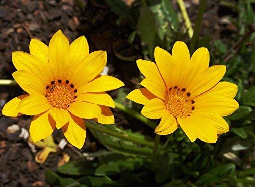 Gazania Kiss (Gazania Seeds - KISS YELLOW - Brilliant 3 inch,Yellow daisylike Flowers)