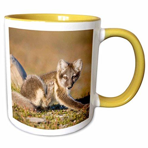 Price comparison product image 3dRose Danita Delimont - Foxes - Norway,  Svalbard,  Edgeoya Island,  Arctic Fox - EU21 PSO0183 - Paul Souders - 11oz Two-Tone Yellow Mug (mug_82419_8)