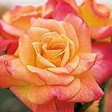 Joseph's Coat Rose Bush Apricot Climbing Rose 4' Pot Organic Grown USA