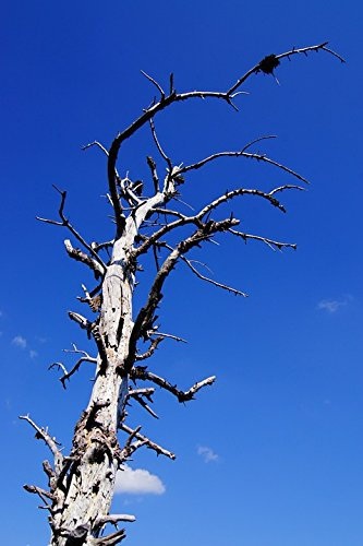Gnarled Tree - Home Comforts LAMINATED POSTER Branches Arid Gnarled Tree Poster 24x16 Adhesive Decal