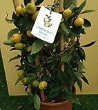 Rare- Sweet Lemon/Citrus limetta Authentic ! / 10 Fresh Seeds