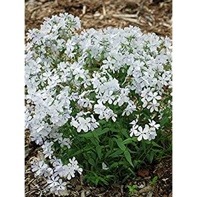 Perennial Farm Marketplace Phlox divaricata 'May Breeze' (Woodland) Perennial, 1 Quart, White Flowers : Garden & Outdoor