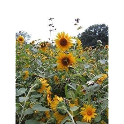 "Peredovic Sunflower Seed""Black Oil"" : Garden & Outdoor"